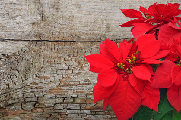 CSADV - Events - Poinsettia and Candy Gifts